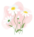 Daisy Flowers. White chamomiles isolated on a pink background Stock Photo