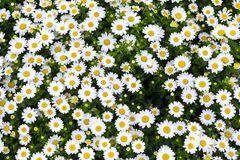 Daisy flowers Royalty Free Stock Image