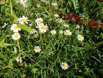 Daisy flowers with white petals and yellow center close-up. Daisy flowers with white petals and yellow center blooming outdoors on a sunny day at summer Stock Image
