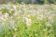 Daisy flowers. White daisy flowers On sunny days Royalty Free Stock Photography