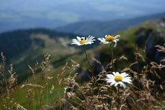 Daisy flowers. White daisy flowers. Tatra mountains, Slovakia Stock Photo