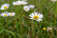 Daisy flowers. White daisy flowers. Tatra mountains, Slovakia Royalty Free Stock Image