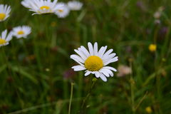 Daisy flowers. White daisy flowers. Tatra mountains, Slovakia Stock Image