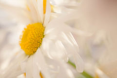 Daisy flowers. White - yellow Daisy flowers - macro Stock Images