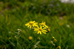 Daisy flowers in the wild. Yellow daisies in the wild royalty free stock images