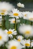 Daisy flowers in wildflower meadow Stock Photo