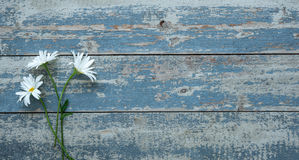 Daisy flowers on wooden background Stock Photography