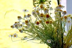 Daisy flowers on a yellow background, macro on a windowsill. Dandellions Stock Photography