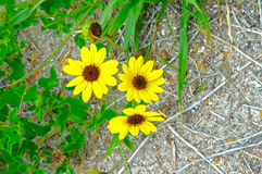 Daisy flowers. Yellow daisy flowers growing in the dry hot beach area Royalty Free Stock Image