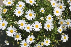 Daisy flowers in yellow white garden. Spring Stock Images