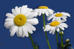 Daisy flowes isolated on blue. Background Stock Photography