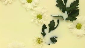 Daisy flowing in milk stock video footage