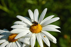 Daisy with fly. A beautiful white daisy flower with a fly sitting in the middle of it in sunshine in the garden outdoors Stock Images