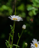 Daisy with flying insect . Stock Image