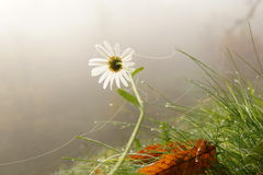 Daisy in fog Stock Images