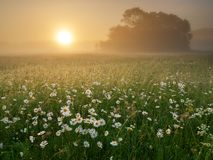 Daisy on foggy morning. Nature composition stock image