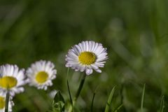 A Daisy in the garden. A Daisy in the foreground in the grass. In the background there are some daisies, too Royalty Free Stock Images