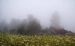 Daisy Forest in Foggy Day. Mountain House and Fog Stock Photography