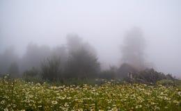 Daisy Forest nel giorno nebbioso Fotografia Stock