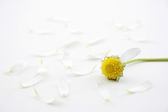 Free Daisy Fortune Stock Photography - 4332452