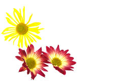 A daisy frame. Decorative daisy fame on white background Royalty Free Stock Images