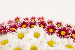 Daisy frame Stock Photography