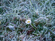 Daisy on a frozen meadow Stock Image