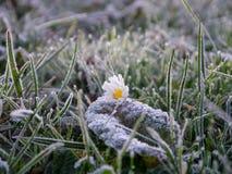 Daisy on a frozen meadow Stock Photos