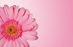 daisy głowy Zdjęcia Royalty Free