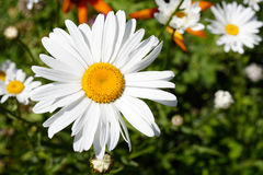 Daisy in garden Royalty Free Stock Photography