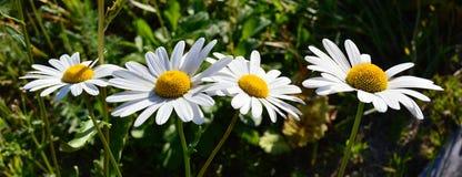 Daisy Garden Lizenzfreie Stockfotos