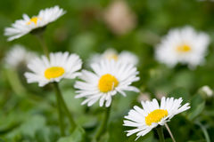 Daisy garden Stock Photography