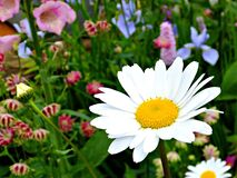 Daisy in the garden Stock Photography