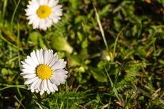Daisy in the garden Stock Photo