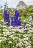 Daisy Garden Royalty Free Stock Image