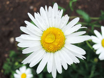 Daisy in the garden with drops of rain. One wet flower of a daisy Stock Photo