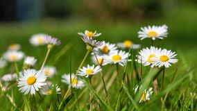 Daisy, Garden, Green, Plant, Flower Royalty Free Stock Images
