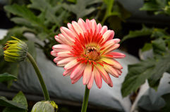 Daisy in the garden. Single red flower with green background Stock Images