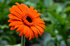 Daisy in the garden. Single red flower with green background Royalty Free Stock Photography