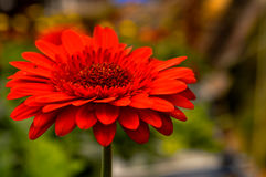 Daisy in the garden. Single red flower with green background Royalty Free Stock Image