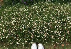 Daisy garden. White daisy in my garden Stock Photo