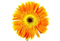 daisy gerber zdjęcie royalty free