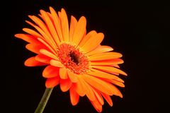 daisy gerber Obraz Royalty Free