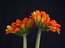 daisy gerber fotografia royalty free