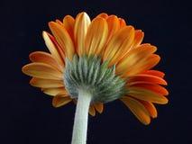 daisy gerber obrazy royalty free