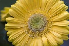 daisy gerber Fotografia Stock