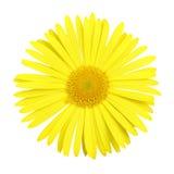 daisy gerber głowy Zdjęcie Stock