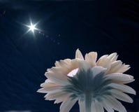 daisy gerbera Obrazy Stock