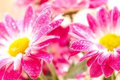 Daisy-gerbera Stock Images