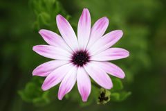 Daisy, gerbera flower. A closup of a flower Royalty Free Stock Photography